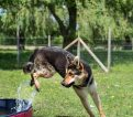 Dog jumping from pool at Izy's day care for dog